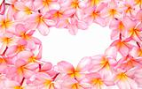 Frangipani flowers for design