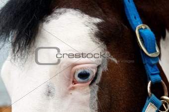 Blue eyed horse 3