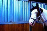 Blue eyed horse 4