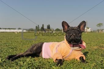 french bulldog in dress