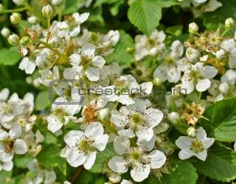 Blossoming blackberry