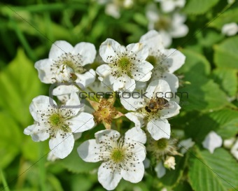 Blossoming blackberry