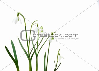 Group of growing snowdrop flowers  isolated on white background