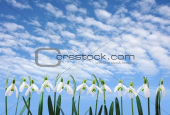 Group of snowdrop flowers  growing in row over sky with clouds