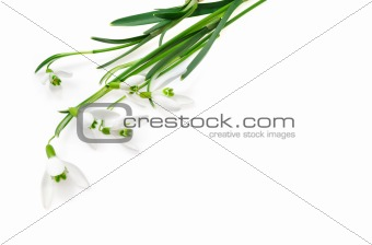 Group of snowdrop flowers  isolated on white background