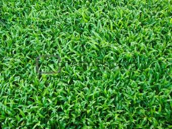 Bright Soft green grass