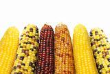 Dried Indian corns