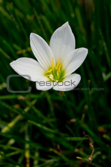beautiful white Zephyranthes