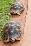 The radiated tortoise