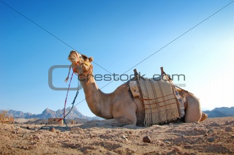 Sitting camel in the desert