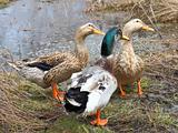 Three beautiful ducks on the lake