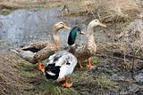 Three beautiful ducks
