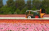 harvesting tulips