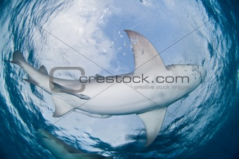Lemon shark belly