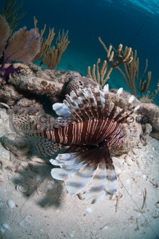 Lion fish on seabed