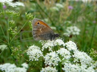 Small butterfly on flowers