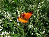 Small red butterfly