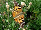 Large orange butterfly