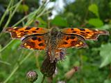 Motley orange butterfly