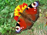 Peacock butterfly on flower