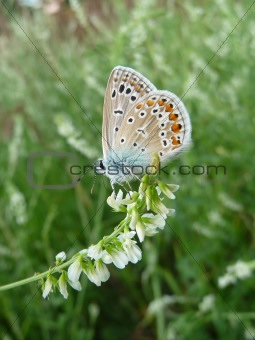 Small butterfly with spots on wings