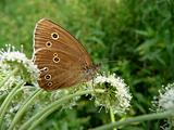Velvet butterfly with eyes on wings