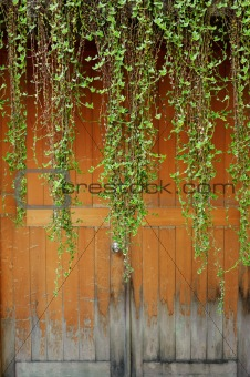 Green ivies over old door