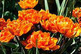 Red Orange Tulips garden