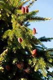 flowering fir branch