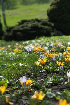 Blooming crocuses in spring flower garden in the park on a sunny morning