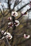 Flowering cherry branches in spring, sunny day