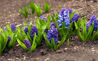 Blue Hyacinth in a garden in Donetsk, Ukraine.