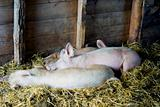 Pigs sleeping in barn