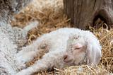Adorable Spring lamd sleeping in farmyard