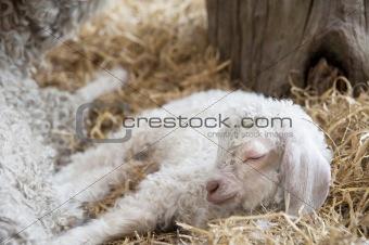 Adorable Spring lamd sleeping in farmyard