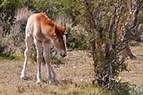 Wild Foal In Nevada Desert