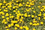 Lawn Covered with Dandelions