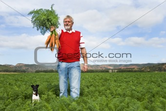 Carrot farmer in a carrot field on a farm