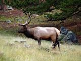 Male Elk