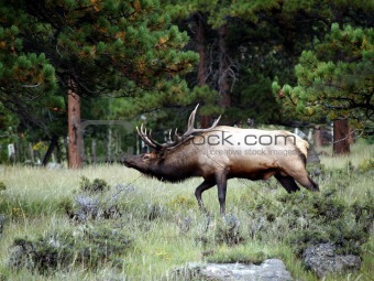 Walking Elk
