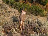 Mule Deer Fawn