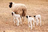 Ewe with three lambs walking away from viewer