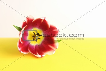Single Tulip on White and Yellow Background