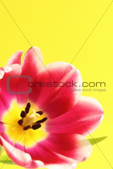 Single Tulip on Yellow Background
