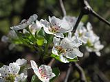 Pear tree Blossoms Close Up