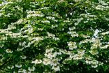 White flowers Viburnum