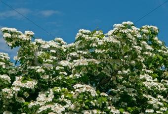 White flowers Viburnum