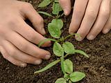 loosen spinach seedlings