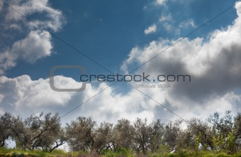 Olive trees trying to reach the sky