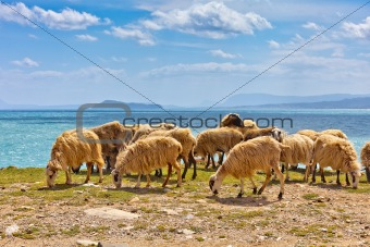 Sheep in a flock near the ocean
